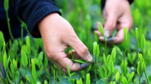 小干货 | 绿茶地理分布。
